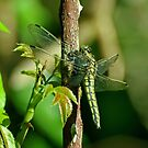 Dragonfly in june by Russell Couch