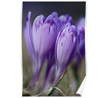 1093 . Crocus sativus . God bless you each and every day with much love and Joy and wonderful inside and out !! Poster