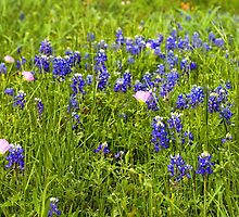 Bluebonnets by Judy Vincent