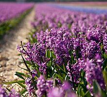 Hyacinth Field by Charlotte Lake