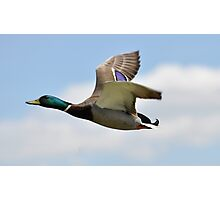 Duck Flight  Photographic Print