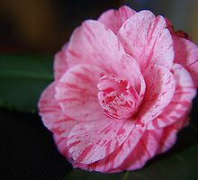 Camelia... by michellerena