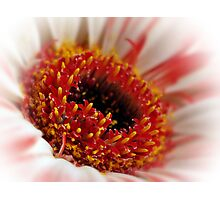 The Soft Center Of  A Gerbera. Photographic Print