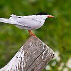 Common Tern, Sterna hirundo by David Lewins