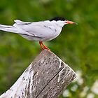 Common Tern, Sterna hirundo by David Lewins