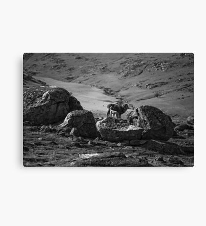baa baa black and white sheep Canvas Print