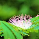 A Pink Mimosa by Jeff Ore