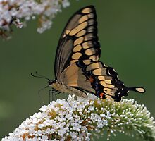 Tiger Swallowtail by tbdrew