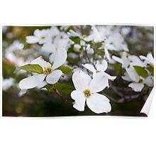 Flowering White Dogwood [2] Poster