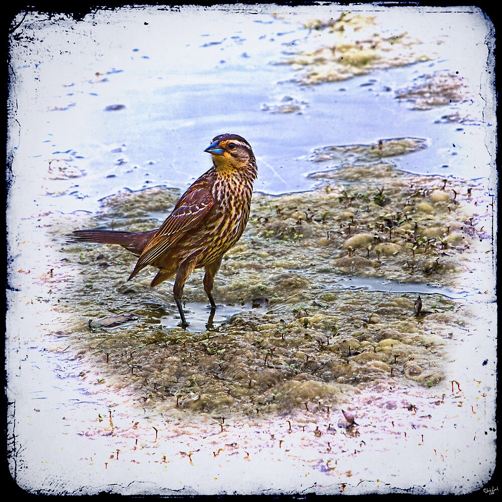 Mrs. Redwing Steps Out by Chris Lord