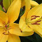 Golden Lilies by ElsT
