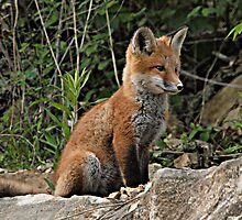 Fox Kit by KathyBerger