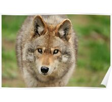 Smokey the Coyote Poster