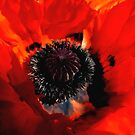 Oriental Poppy by mariarty