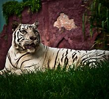 Sumartrian White Tiger by Keith Irving
