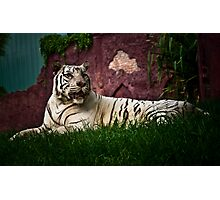 Sumartrian White Tiger Photographic Print