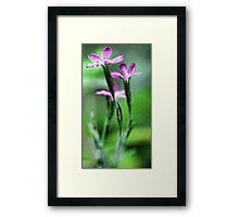 Pink Dianthus - Raindrop Framed Print