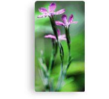 Pink Dianthus - Raindrop Canvas Print