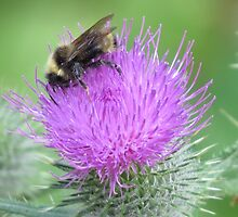Common Thistle and Bumblebee by Penny Ward Marcus