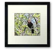 Cowbird in strong light Framed Print