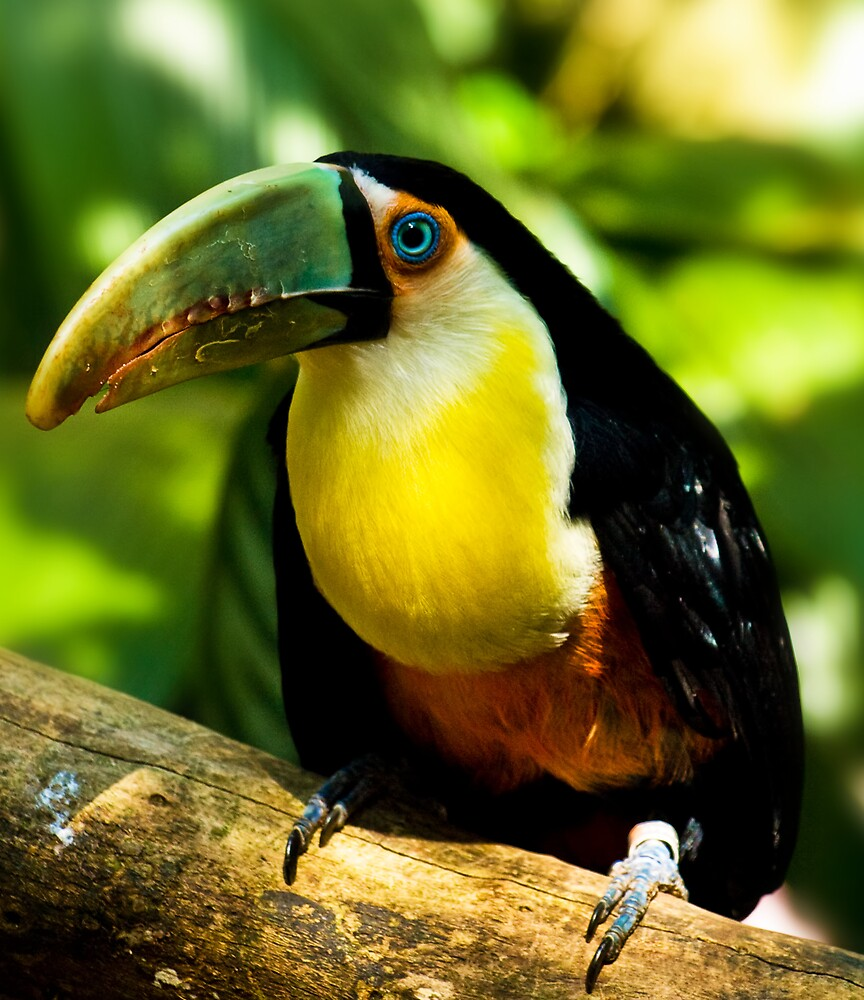 A nice toucan by Andrea Rapisarda