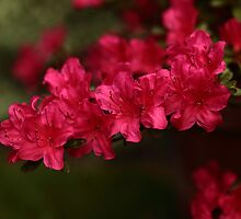 Red and frilly by Magic-at-Photos