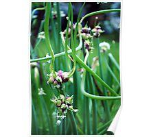 Walking Onions  (Allium cepa var. proliferum) Poster