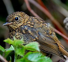 Baby Robin by patapping