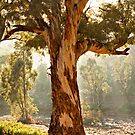 Outback river redgum - South Australia by Tony Middleton