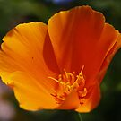 Eschscholzia californica : California Poppy by AnnDixon