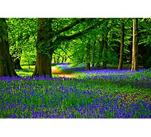 Bluebell Wood - Thorpe Perrow #3 Photographic Print