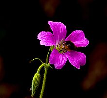 Foraging Bee #1 by Trevor Kersley