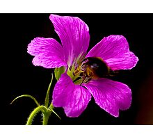 Foraging Bee a Closer View Photographic Print