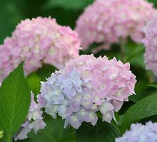 Hydrangea by jewelskings