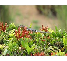 Spotted Lizard Photographic Print