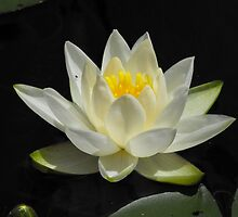 Water Lily From A Canoe by Tracy Faught