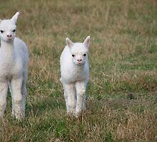 New Born Alpacas by mensoart