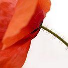 Poppy by Lena Weiss