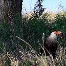 Lucky Caracara Snack Break by Linda Woods