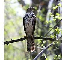 Slender Cooper's Hawk Photographic Print