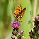 Pearl Bordered Fritillary by Robert Abraham