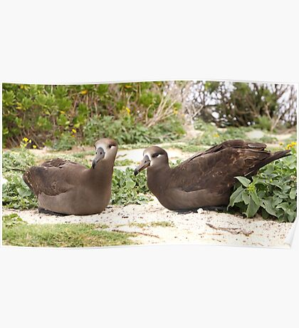 Black Footed Albatross Pair Poster
