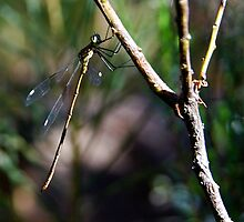 Senior Dragonfly by ijam357