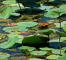 Lotus Leaves 2 by Shawna Rowe