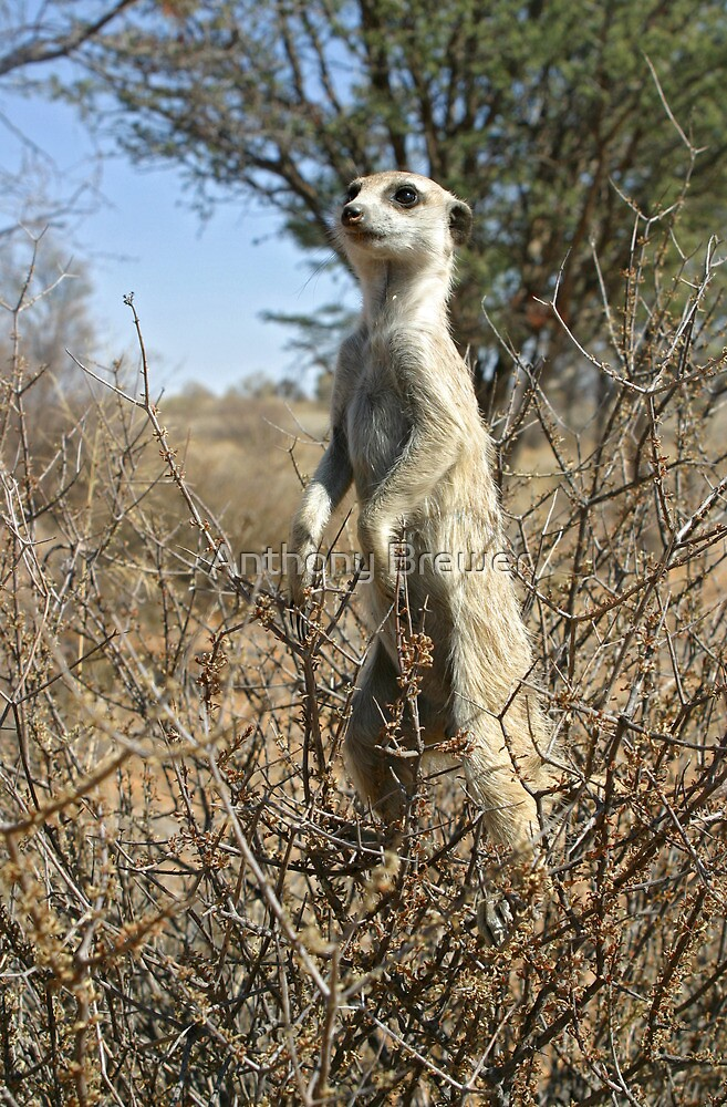 Meerkats in high places by Anthony Brewer