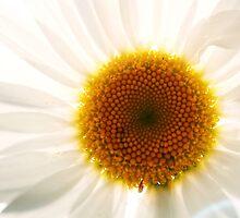 Daisy Sunshine by Tamara Brandy