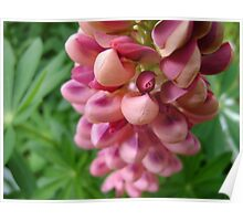 tender loving (lupin flower) Poster