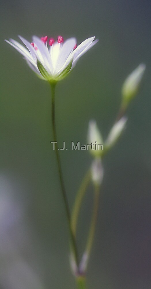 Wildflower - Star Chickweed by T.J. Martin