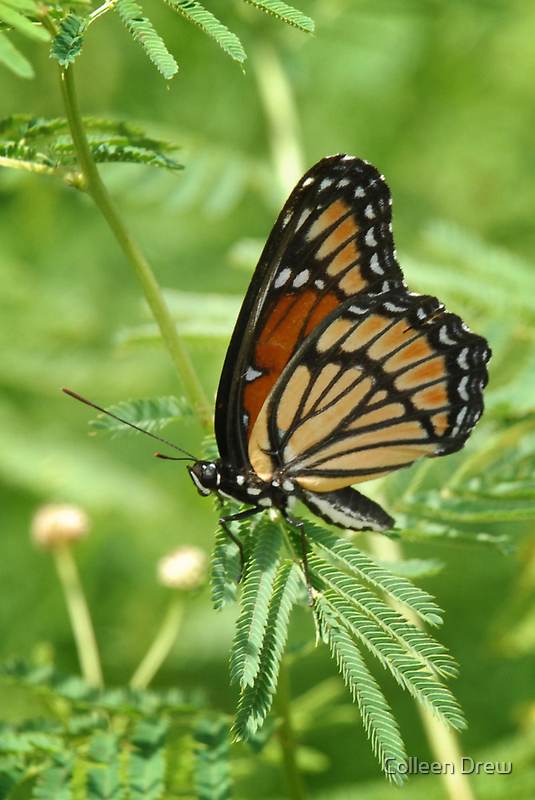Monarch Butterfly by Colleen Drew
