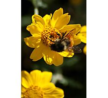 Bumblebee and The Yellow Flower Photographic Print